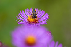 Pollinator (Leafcutter bee) (NicoleW0000) Tags: bee wasp hornet aster flower macro naturephotography macrolens 180mm canon kingston leafcutter