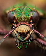 Green Tiger Beetle (Cicindela campestris) (Chambers35th) Tags: beetle beetles beautiful tiger tigerbeetle green greentigerbeetle insects insect invertebrates invertebrate invert nikon wildlife sigma wildlifephotography bbc bbcearth spring springwatch macro macrophotography macrodreams macros nature naturephotography natgeowild natgeo uk outdoors predator hunter explore explored cicindela campestris cicindelacampestris portrait photography portraits bbcspringwatch makro amazing beast nationalgeographic animals animal animalphotography