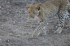 "Tiyani's leopard cub walks carefully across an open area, her spots blurring her lines. Elephant Plains Game Lodge, Sabi Sands Game Reserve, Kruger National Park, South Africa. (grumpybaldprof) Tags: ""elephantplainsgamelodge"" ""sabisandsgamereserve"" ""krugernationalpark"" ""southafrica"" limpopo mpumalanga ""big5"" wildlife lion hippo rhino elephant buffalo ""painteddog"" ""africanhuntingdog"" cheetah ""gamereserve"" lodge ""gamedrives"" ""gamewalks"" animals ""bigcat"" ""gamedrive"" ""gamewalk"" ""wildanimals"" bird squirrel calf ""elephantcalf"" hyena zebra wildebeest giraffe warthog ""treesquirrel"" ""smith'sbushsquirrel"" ""commonzebra"" ""plainszebra"" vervet ""vervetmonkey"" ""nkuhumapride"" brownivorypride"" leopardess lioness waterbuck clan pride pack herd den birds avians impala horns antlers jackal ""sidestripedjackal"" ""drakensbergmountains"" nyala kudu steenbok antelope terrapin tiyani cub leopard walking ""canon80d"" ""sigma 150600mm f563 dgoshsmsport"""