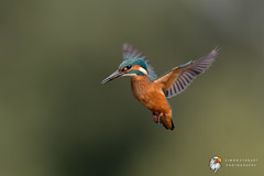 Kingfisher (Simon Stobart) Tags: kingfisher alcedo atthis flying hovering north east england uk
