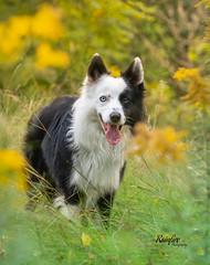 End of Summer (Rainfire Photography) Tags: bordercollie splitface ontario toronto flowers dog heterochromia petphotography nikon