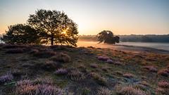 Westruper Heide (michel1276) Tags: westruperheide heide haltern halternamsee landschaft landscape bäume baum trees sunrise sunstar zeissloxia sonya7iii loxia21 fog foggy nebel morgengrauen