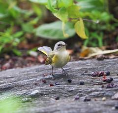 american redstart at the butterfly garden (madeofchalk) Tags: butterflygarden canon canonphotography canon6d americanredstart redstart centralpark birdphotography birdwatching