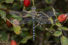 _IMG9837 Migrant Hawker - Aeshna mixta (Male) (Pete.L .Hawkins Photography) Tags: migrant hawker aeshna mixta male petehawkins petelhawkinsphotography petelhawkins petehawkinsphotography 150mm macro pentaxpictures pentaxk1 petehawkinsphotographycom rotherhamphotographer irix f28 11 fantasticnature fabulousnature incrediblenature naturephoto wildlifephoto wildlifephotographer naturesfinest unusualcreature naturewatcher minibeast tiny creatures creepy crawly bug wildlife insectphoto bugphoto insect invertebrate 6legs compound eyes uglybug bugeyes fly wings eye veins flyingbug flying