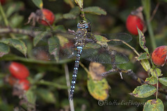 _IMG9832 Migrant Hawker - Aeshna mixta (Male) (Pete.L .Hawkins Photography) Tags: migrant hawker aeshna mixta male petehawkins petelhawkinsphotography petelhawkins petehawkinsphotography 150mm macro pentaxpictures pentaxk1 petehawkinsphotographycom rotherhamphotographer irix f28 11 fantasticnature fabulousnature incrediblenature naturephoto wildlifephoto wildlifephotographer naturesfinest unusualcreature naturewatcher minibeast tiny creatures creepy crawly bug wildlife insectphoto bugphoto insect invertebrate 6legs compound eyes uglybug bugeyes fly wings eye veins flyingbug flying