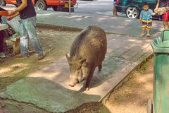 Wild boar on the loose at the parking lot of Erawan National Park in Kanchanaburi, Thailand (UweBKK (α 77 on )) Tags: kanchanaburi province thailand southeast asia sony alpha 77 slt dslr wild boar wildboar pig erawan national park parking lot nature outdoors animal forage