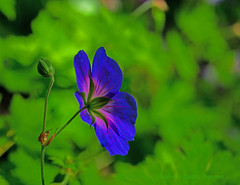 Aglow (L@nce (ランス)) Tags: blue flower micro nikkor bokeh leaves nikon canada