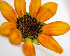 "nueve pétalos (risaclics) Tags: nine 60mmmacro closeup nikond610d september2019 abstract details flora flowers orange petals yellow zinnia ""macro mondays"""