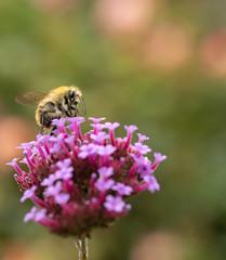 A bee ball (susie2778) Tags: bordehillgarden olympus omdem1mkii olympusm60mmf28macro flower macro insects bee verbena