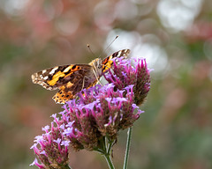Painted lady (susie2778) Tags: bordehillgarden olympus omdem1mkii olympusm60mmf28macro flower macro insects butterfly paintedlady verbena