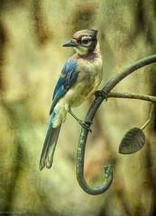 Bluejay in Repose (paulgarf53) Tags: bluejay bird birds nature blue art feathers florida nikon d700 topazstudio2