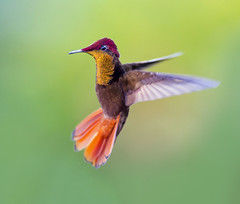 Ruby Topaz Hummingbird in flight dancing in the air, Tucusito Rubi, Trinidad. Chrysolampis mosquitus (pedro lastra) Tags: hummingbird trinidad colombia florida flight macro tropical bird america trochilidae aves chordata apodiformes