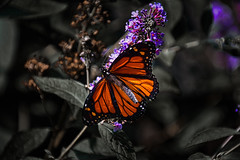 In my own back yard (KWPashuk (Thanks for >3M views)) Tags: nikon d7200 tamron tamron18400mm lightroom luminar luminar2018 luminar3 luminar31 kwpashuk kevinpashuk monarch butterfly bush flower garden nature orange purple outdoors