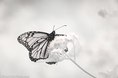 monarch - 720nm infrared (Brian M Hale) Tags: ir infrared kolari vision kolarivision monarch insect butterfly 720nm outside outdoors nature tower hill botanic botanical garden boylston ma mass massachusetts newengland new england usa brian hale brianhalephoto