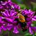 Snowberry Clearwing Moth On Flox