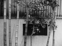 Bamboo (Nick Condon) Tags: abstract bamboo blackandwhite hakone japan olympus45mm olympusem10 plants vent wall
