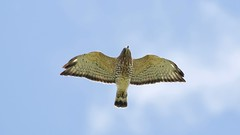 broad-winged hawk (quadceratops) Tags: massachusetts nature ashburnham mount watatic eastern mass hawk watch hawkwatch fall migration migrationison emhw broad winged broadwing