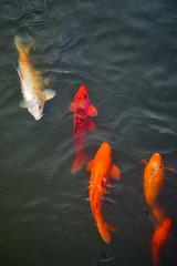 Koi Swimming (WanderPhoto_) Tags: shanghai china asia fish koi orange white large swim swimming pond water