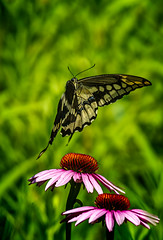 Upsee Daisy (Portraying Life, LLC) Tags: da3004 hd14tc k1mkii michigan pentax ricoh topazaiclear unitedstates butterfly closecrop handheld nativelighting meadow daisy bif inflight flower