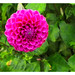 Pink Dahlia Seems to Float Above a Sea of Green Foilage