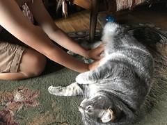 Belly rub (artnoose) Tags: belly furry cat tabby grey gray tiger