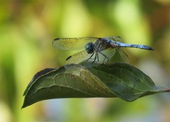 dragonfly against bright color (Cheryl Dunlop Molin) Tags: dragonfly bokeh insect