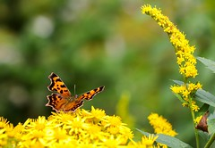 The Butterfly's World (Karen_Chappell) Tags: butterfly nature macro yellow green orange bokeh insect canonef100mmf28usmmacro bidgoodpark newfoundland stjohns nfld canada eastcoast avalonpeninsula atlanticcanada wildflower wildflowers goldenrod flower floral flowers tansy