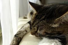 Sleeping on the Bench (sjrankin) Tags: 8september2019 edited animal cat livingroom kitahiroshima hokkaido japan closeup tigger bench window curtains sleep sleeping