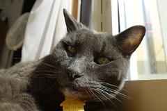 Bonkers Successfully Defends His Spot 1 (sjrankin) Tags: 8september2019 edited animal cat livingroom kitahiroshima hokkaido japan closeup bonkers window floor curtains fan