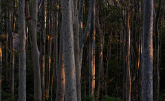 Forest sunrise (OzzRod) Tags: pentax k1 smcpentaxda50135mmf28 forest sunrise subdued gloom awakening trees glow barraggabay nswfarsouthcoast pentaxart