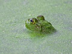 Bullfrog (Brian E Kushner) Tags: bullfrog bull frog toad palmyracovenaturepark palmyra cove nature park nj newjersey tacony bridge nikon z 6 nikonz6 amphibians bkushner wildlife animals ©brianekushner nikonafsnikkor500mmf56epfedvrlens afs nikkor 500mm f56e pf ed vr lens