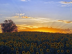 Sunflowers near Grinter Farms, 6 Sept 2019 (photography.by.ROEVER) Tags: kansas leavenworthcounty reno sunflower sunflowers sunflowerfield sunflowerfields grinterfarms grinterfarmssunflowers sunflowergeneralstore flower flowers color colour colors colours landscape bluesky yellow green blue rural country september 2019 september2019 latesummer latesummer2019 evening sunset sunsetting sunrays clouds usa ngc