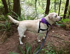 Gracie overlooking the canyon (walneylad) Tags: gracie dog canine pet puppy cute lab labrador labradorretriever september summer capilanoriverregionalpark