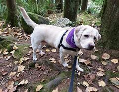 Gracie looking quite curious (walneylad) Tags: gracie dog canine pet puppy cute lab labrador labradorretriever september summer capilanoriverregionalpark