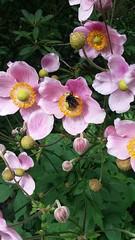 (sftrajan) Tags: pink flowers unidentified sanfranciscobotanicgarden botanicgarden september sanfrancisco flores jardinbotanique strybingarboretum jardinbotanico