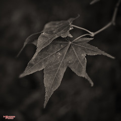The Leaf (MBates Foto) Tags: availablelight blackandwhite bokeh daylight existinglight flora fauna leaf monochrome nikkorlens nikon nikonais nikond810 nikonfx outdoors outside plants tree spokane washington unitedstates inspiration inspirational inspire