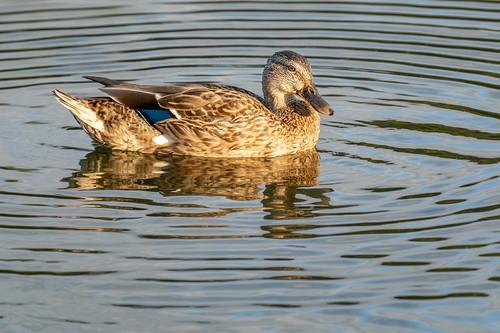 Mallard Duck at Sunset