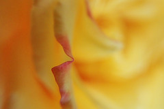 Petal Edge--Explored (Grazerin/Dorli Burge) Tags: flower floral flowerabstract abstract closeup macro yellow red edge selectivefocus bokeh