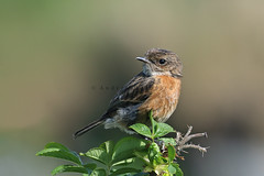 Stonechat (Saxicola rubicola) - Barra, Outer Hebrides. (Andrew Bradford Images) Tags: chat saxicolarubicola stonechat saxicola bird passerine