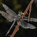 Great Blue Skimmer - Libellula vibrans, Julie Metz Wetlands, Woodbridge, Virginia