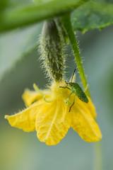 *** (Yuriy Kuzmenok) Tags: растения насекомые клоп огурец макро
