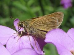 Polites themistocles (tawny-edge skipper), female (tigerbeatlefreak) Tags: polites themistocles tawnyedge skipper insect butterfly lepidoptera hesperiidae nebraska