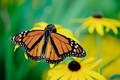 Monarch on Black-eyed Susans (imageClear) Tags: insect monarch feeding flower flowers september sheboygan wisconsin beauty nature lovely orange wildlife aperture macro nikon d600 105mm imageclear flickr photostream