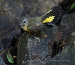 American Redstart (Mary Sonis) Tags: warbler redstart carolina migration bird tail fan canon wildlife nature setophaga ruticilla