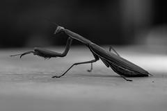La religieuse (Meculda) Tags: insecte insect mante religieuse tigre de lherbe noiretblanc blackandwhite blackwhite noirblanc macro nikon 105mm