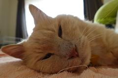 Drowsy Norio (sjrankin) Tags: 8september2019 edited animal cat livingroom kitahiroshima hokkaido japan closeup norio couch towel window curtains glare drowsy