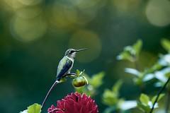 Hummingbird - Explored September 9, 2019 (Sandra Mahle) Tags: hummingbird hummingbirds wildlife nature birds bird birdphotography ngysa natgeo dahlias garden ngysaex explore canon canonphotography bokeh