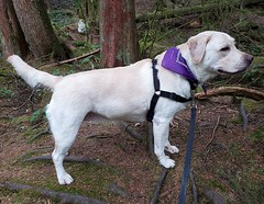 Gracie standing in the forest (walneylad) Tags: gracie dog canine pet puppy cute lab labrador labradorretriever september summer capilanoriverregionalpark