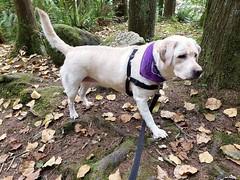 Gracie on the prowl (walneylad) Tags: gracie dog canine pet puppy cute lab labrador labradorretriever september summer capilanoriverregionalpark