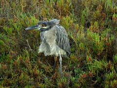 Yellow-crowned Night-Heron (stonebird) Tags: ribbet img8069 yellowcrownednightheron nyctannasaviolacea ballonawetlandsecologicalreserve areab september